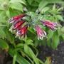Alstroemeria psittacina 'Royal Star'
