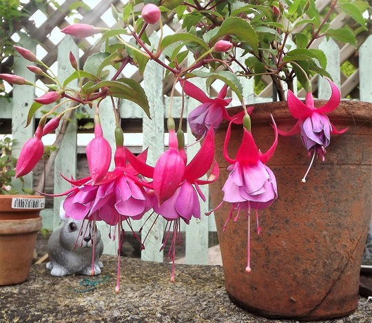 Fuchsia 'Tennessee Waltz'