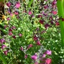 Salvia 'Dyson's Maroon'