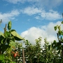 RUNNER BEANS NOW TO THE TOP OF THE STICKS.