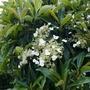 Hydrangea seemanii - 2020 (Hydrangea seemanii)