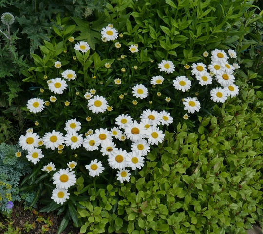 Leucanthemum 'Little Miss Muffet' - 2020 (Leucanthemum 'Little Miss Muffet')