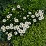 Leucanthemum 'Little Miss Muffet' - 2020 (Leucanthemum 'Little Miss Muffet')
