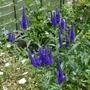 Veronica longifolia 'Marietta' - 2020 (Veronica longifolia)