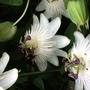 Passiflora Constance Elliot (Passiflora caerulea (Passion flower))