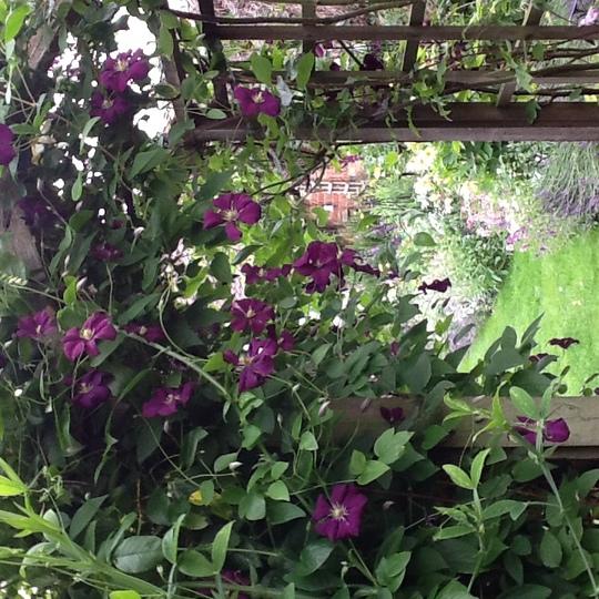 Clematis Viticella Etoile violette (Clematis viticella (Viticella Group clematis))