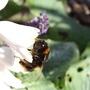 BEE ON HOSTA