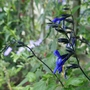 Salvia guaranitica 'Black and Blue' - 2020 (Salvia guaranatica)