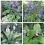 Hostas Leaves and Flowers (Hosta)