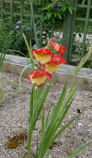 Gladiolus dalenii - 2020 (Gladiolus dalenii)