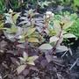 For Sheila....Hydrangea 'Polestar'