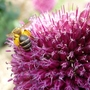 Bee absolutely loaded on an Allium
