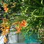 Day Lily Fulva. (Hemerocallis fulva (Chin Chen TsAi))