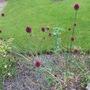 Allium sphaerocephalon (Allium sphaerocephalon (Round-headed leek))