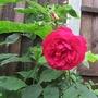 Rose Nina Weibull (Rosa multiflora (Rose))