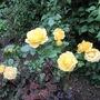 Rose Mountbatten (Rose)