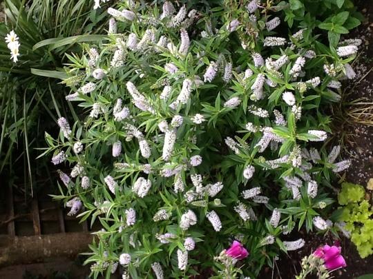 Hebe salicifolia (Hebe salicifolia)