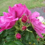 Scented Rose (Rosa)