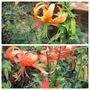 Turks Cap Lilies (Lilium)