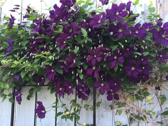 Clematis unknown variety