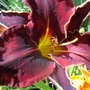 Daylily 'Jamaican Midnight' ?