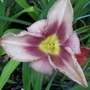 Daylily 'Chicago Picotee ...'  (half label)
