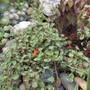 Fuchsia procumbens 'Wirral' (Fuchsia procumbens 'Wirral')
