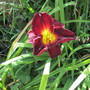 Hemerocallis 'Night Beacon' (Hemerocallis)