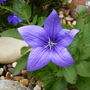 Platycodon   Balloon flower