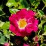 Deep pink climbing rose.