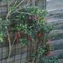 Mitraria coccinea - 2020 (Mitraria coccinea)
