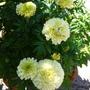 Vanilla White Marigold