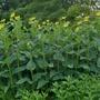 Silphium perfoliatum - 2020 (Silphium perfoliatum)