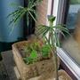 Arisaema consanguineum 'The Perfect Wave' - 2020 (Arisaema consanguineum)