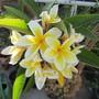 Plumeria Celadine...sweet scent. (Plumeria rubra (Atabaiba Rosada))