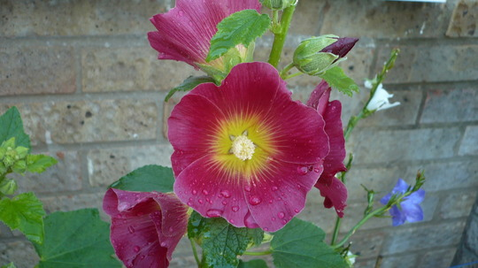 Holyhock-Halo Red