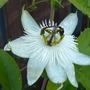 Passiflora-Constance Elliott