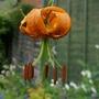 Lilium henryi - 2020 (Lilium henryi)