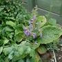 Salvia hians - 2020 (Salvia hians)