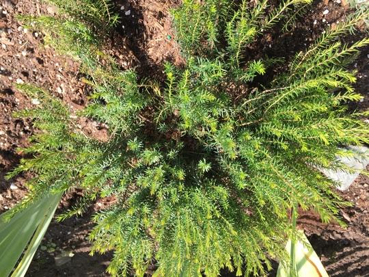 Springwood Ink Spring Heath  (Erica carnea (Winter heath))