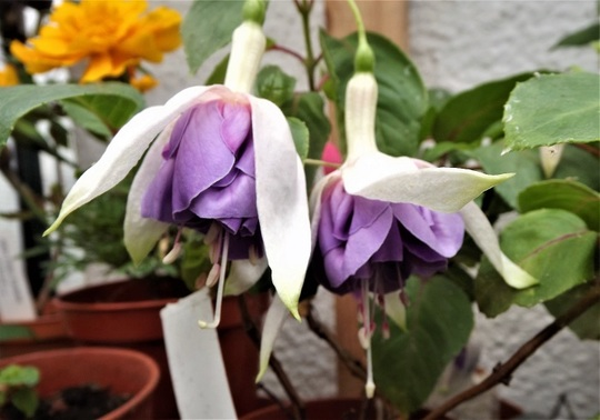 Fuchsia 'Seattle Blue'