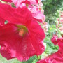 0070 3 red hollyhock