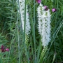 Liatris spicata 'Alba' - 2020 (Liatris spicata)