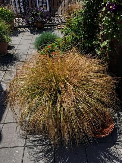 Anamenthele (Stipa arundinacea (Pheasant's tail grass))