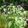 Salvia Amistad .2
