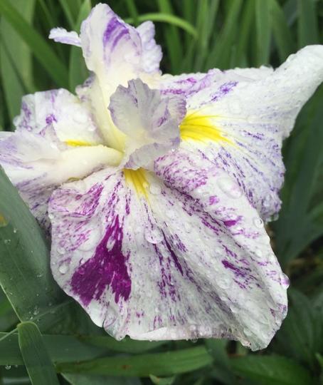 Japanese Iris calked Freckled Geisha  (iris ensata)