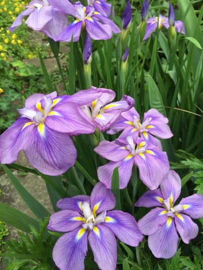 Japanese Iris Pivotee Wonder (iris ensata)