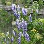 Aconitum_x_cammarum_bicolor_2020