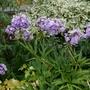 Phlox paniculata 'Franz Schubert' - 2020 (Phlox paniculata)
