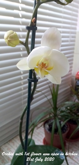Orchid with 1st flower now open in kitchen 21st July 2020 (Phalaenopsis)